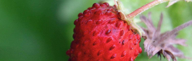 Erdbeeren: Nuss oder Frucht? Erklärung | Koch für 2!