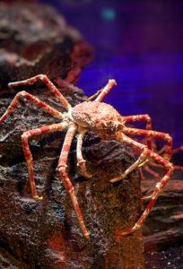 Königskrabbe | King Crab